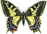swallowtailsmcr
